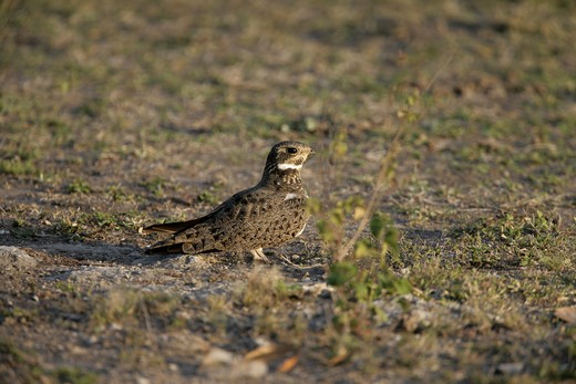 Stock Photo: 4141-41531 nacunda nighthawk, podager nacunda, brazil