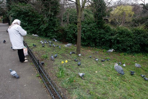 Stock Photo: 4141-41586 grey heron ardea cinerea, being fed by people in regents park, london, spring