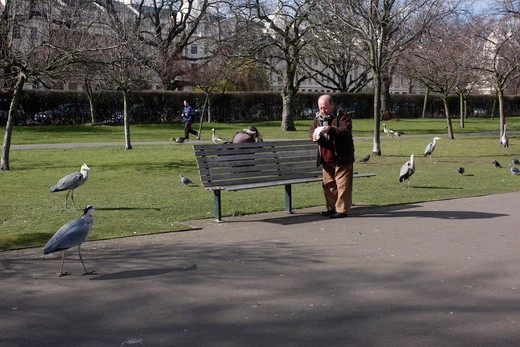 Stock Photo: 4141-41597 grey heron ardea cinerea, being fed by people in regents park, london, spring