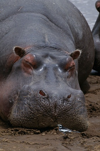 hippopotamus hippopotamus amphibius sleeping with bird in front : Stock Photo