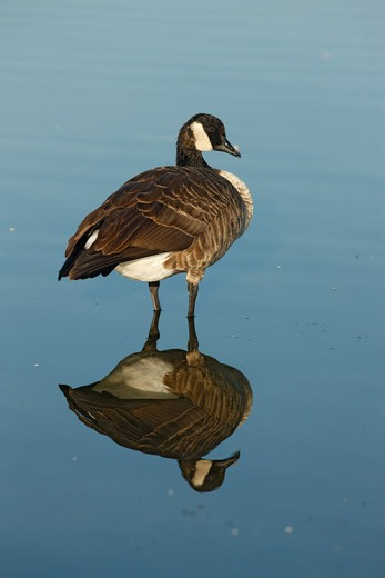 canada goose, branta canadensis, single bird standing in water with reflection, new york, usa, august 2008  : Stock Photo