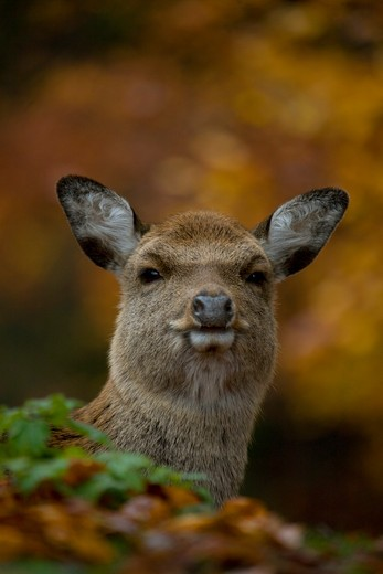 Stock Photo: 4141-42228 fallow deer female (dama dama) switzerland. autumn