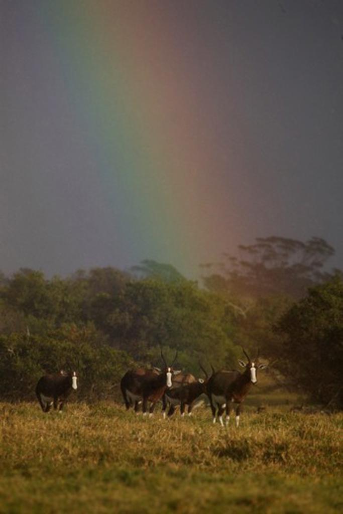 Stock Photo: 4141-42288 bontebok (damaliscus pygargus dorcas); under rainbow; south africa