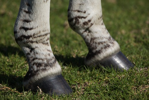 common, plains or burchell's zebra (equus burchelli); detail of hooves; south africa : Stock Photo