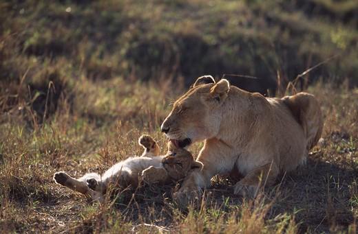 Stock Photo: 4141-4263 african lioness panthera leo grooming cub solo. masai mara reserve, kenya.