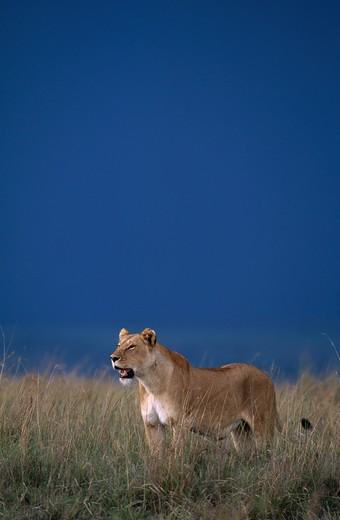 Stock Photo: 4141-4267 african lion panthera leo female under stormy sky, masai mara national reserve, kenya