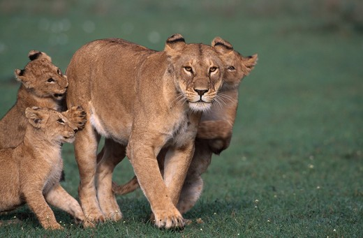 Stock Photo: 4141-4269 african lion panthera leo female with three large young, masai mara national reserve, kenya