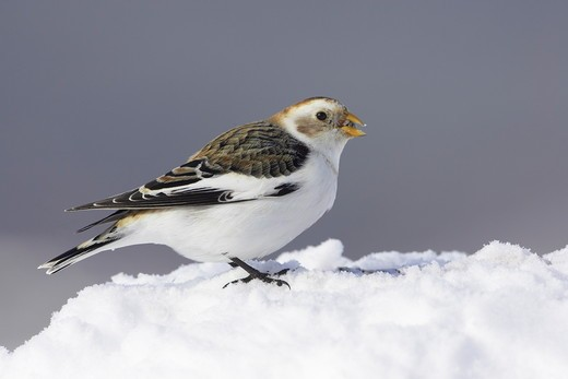 Stock Photo: 4141-43381 snow bunting feeding on seeds in snow. plectrophenax nivalis scotland. march. date: 04.11.2008 ref: zb849_123570_0013 compulsory credit: woodfall wild images/photoshot