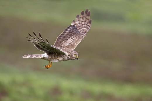 hen harrier (circus cyaneus) female in flight over moorland. scotland. july : Stock Photo