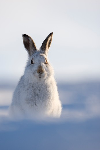 mountain hare (lepus timidus) in winter pelage (coat). grampian mountains, scotland. january. : Stock Photo