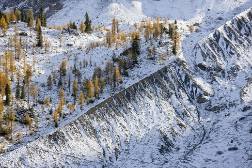 Stock Photo: 4141-43731 european larch (larix decidua), tree line at app 2350m, growing on the lateral morain of the glacier position of 1850. due to global warming the galciers are retreating and the tree line is moving higher and higher. around 1850 the area was part of the periglacial area of the glacier. europe, central europe, italy, south tyrol, october 2009