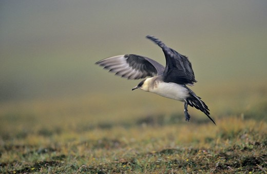Stock Photo: 4141-43738 arctic skua (stercorarius parasiticus). landing in fog in moorland europe, great britain, scotland, shetland islands, fair isle, may 1999