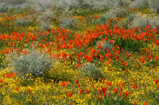 Stock Photo: 4141-43919 california poppies (eschscholzia californica), antelope valley california poppy reserve, california, united states