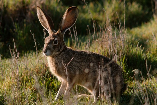 blacktail jackrabbit (lepus californicus), oregon, united states : Stock Photo