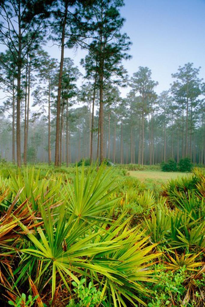 Stock Photo: 4141-44032 longleaf pine and palmetto, okefenokee national wildlife refuge, georgia, united states