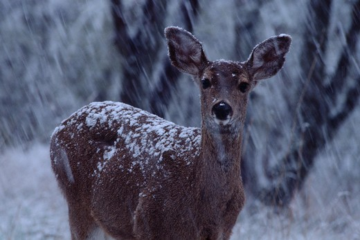 Stock Photo: 4141-44051 mule deer (odocoileus hemionus) in snowstorm, oregon, united states