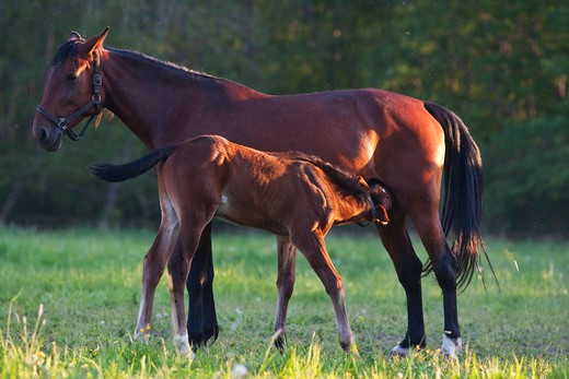 Stock Photo: 4141-44238 mare and foal (equus ferus caballus), tooma, estona, june 2009