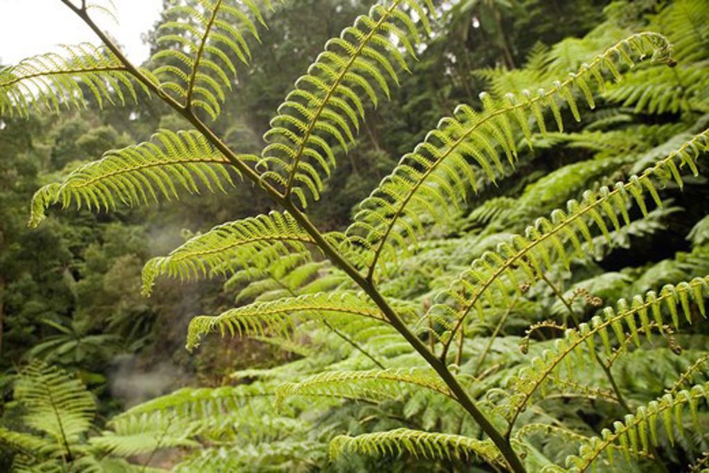 Stock Photo: 4141-44373 tree fern (sphaeropteris cooperi) underside of frond cladeira velha, san miguel, azores date: 15.10.2008 ref: zb869_126376_0013 compulsory credit: nhpa/photoshot