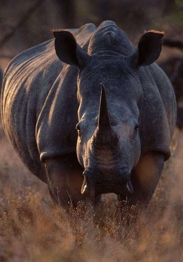 Stock Photo: 4141-4477 white rhinoceros bull ceratotherium simum londolozi, sabi sands game reserve, south africa