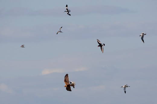 Stock Photo: 4141-44787 marsh harrier circus aeruginosus being mobbed by various waders and gulls, norfolk, uk