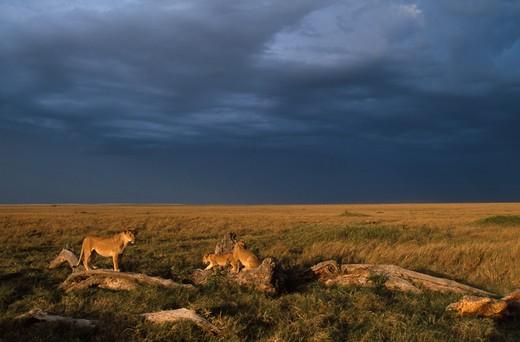 african lion female and young panthera leo musiara marsh, masai mara game reserve, kenya : Stock Photo