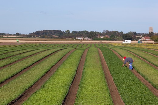 Stock Photo: 4141-44954 weeding spinach rows prior to harvesting walcott norfolk