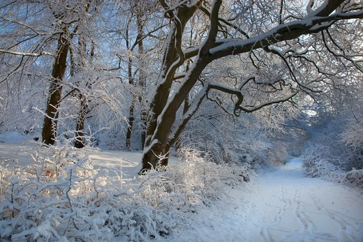 Stock Photo: 4141-44971 beechwood at little gaddesden hertfordshire in snow