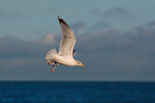 herring gull larus agentatus : Stock Photo