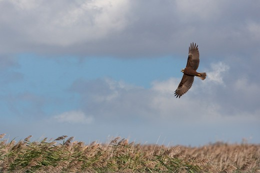 Stock Photo: 4141-45050 marsh harrier circus aeruginosus female