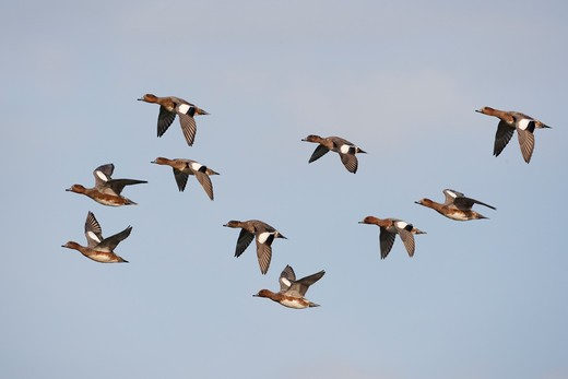Stock Photo: 4141-45105 wigeon anas penelope flock cley norfolk