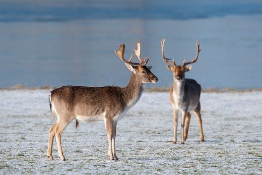 fallow deer herd cervus dama in winter snow : Stock Photo