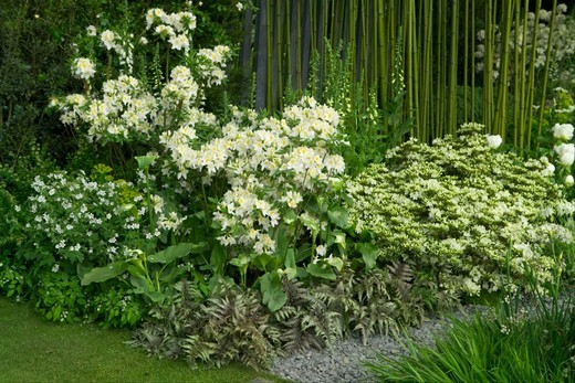 Stock Photo: 4141-45246 a white colour themed border backed by bamboo at the 2008 chelsea rhs show, london, uk. date: 10.10.2008 ref: zb898_121950_0036 compulsory credit: photos horticultural/photoshot