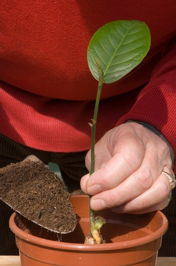 artocarpus heterophyllus jackfruit seedling being potted on using trowel to add compost to pot. date: 31.07.2008 ref: zb907_117473_0011 compulsory credit: michael warren/photos horticultural/photoshot  : Stock Photo
