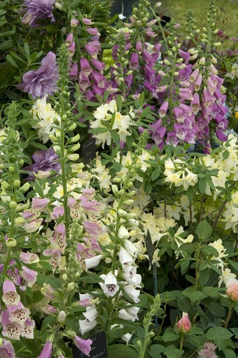 digitalis purpurea mixed hybrids - foxgloves , rosa english garden - a shrub rose with plant breeders' rights and rhododendron daviesii a cream azalea growing in a mixed summer border. date: 10.10.2008 ref: zb907_121953_0002 compulsory credit: photos horticultural/photoshot  : Stock Photo