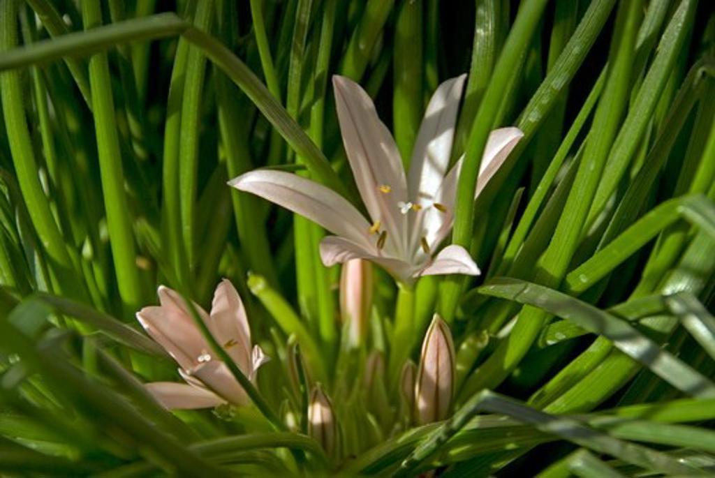 asphodelus acaulis date: 18.12.2008 ref: zb907_126506_0065 compulsory credit: photos horticultural/photoshot  : Stock Photo