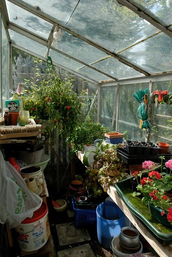 Stock Photo: 4141-46537 greenhouse with tumbler tomato in hanging basket and lots of trays, pots and equipment. date: 31.07.2008 ref: zb910_117459_0067 compulsory credit: david potter/photos horticultural/photoshot