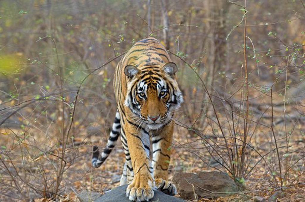 Stock Photo: 4141-46699 bengal tiger (panthera tigris) at ranthambhore national park rajasthan india