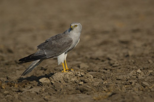Stock Photo: 4141-46828 pallid harrier, circus macrourus; male, little rann of kutch, gujarat india bird