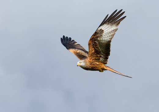 Stock Photo: 4141-47746 red kite milvus milvus mid wales march date: 28.10.2008 ref: zb957_123026_0022 compulsory credit: nhpa/photoshot