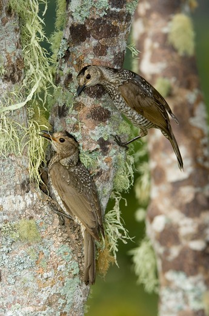 regent bowerbirds, sericulus chrysocephalus (females); lamington national park, australia : Stock Photo