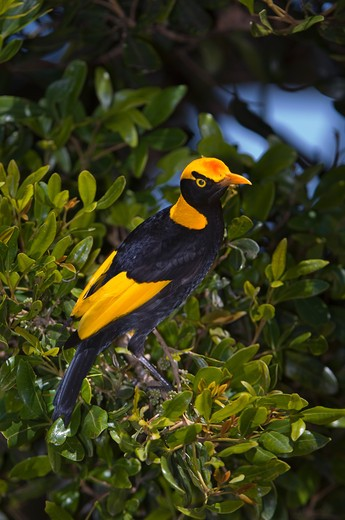 Stock Photo: 4141-4819 regent bowerbird, sericulus chrysocephalus; lamington national park, australia