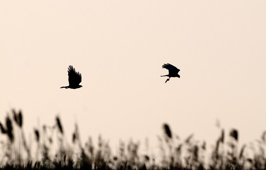 Stock Photo: 4141-48293 marsh harrier circus cyaneus about to food pass cley norfolk april