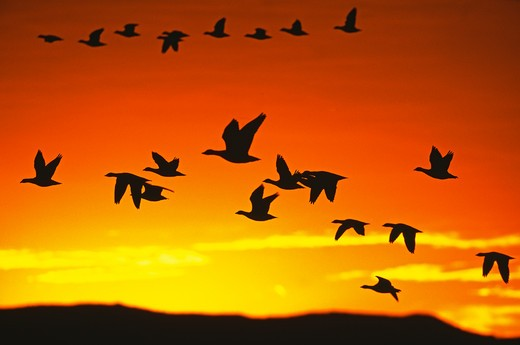 Stock Photo: 4141-48371 snow geese (anser caerulescens) flying out from roost to feed at dawn, bosque del apache, new mexico, usa. november
