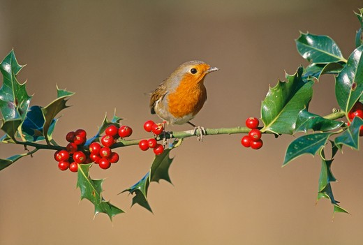 robin (erithacus rubecula) on holly, uk : Stock Photo