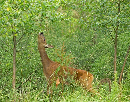 roe deer (capreolus capreolus) doe feeding on birch leaves at woodland edge kent summer : Stock Photo