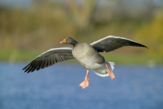 Stock Photo: 4141-48569 greylag goose anser anser, coming in to land, caerlaverock, scotland, winter