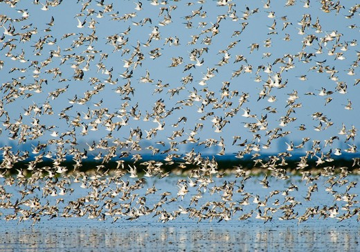 knot calidris canutus at snettisham rspb reserve in the wash north norfolk september : Stock Photo