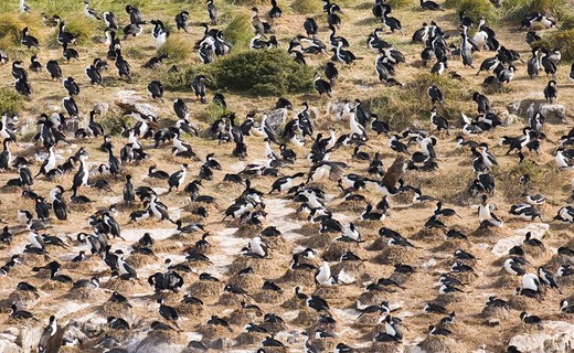 imperial shag phalacrocorax atriceps breeding colony on islet in beagle channel off ushuaia argentina november : Stock Photo