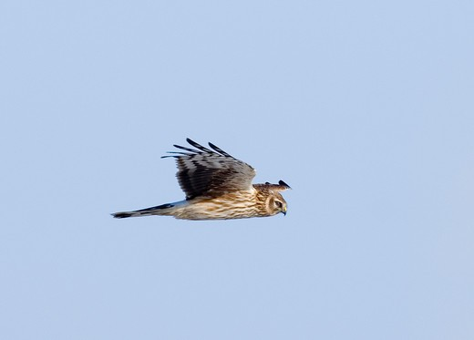 Stock Photo: 4141-48793 hen harrier circus cyaneus female hunting in winter uk