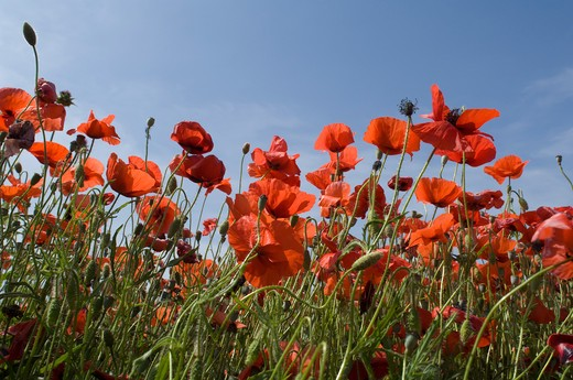 Stock Photo: 4141-49225 poppies, papaver rhoeas, france.